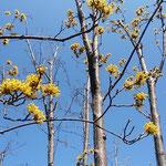 咲き始めた山茱萸の黄色い花は青空に映えて輝いて見えました。     ・青空へ山茱萸の黄の鮮やかに(和良)