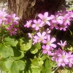 我が家の庭にかたばみの花が咲きました。太陽に眩しそうです。       ・かたばみの花に太陽強過ぎる(和良)