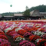 富良野のファーム富田のお花畑です。原色の花が並んでいました。    ・原色といふ夏の色なり花畑(和良)