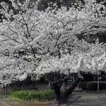 徳島城公園で見た満開の桜です。見事な咲きっぷりでした。 ・生命とは燃やすものなり桜花(和良)