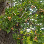 徳島市中央公園の銀杏の大木に銀杏が鈴生りでした。  。幹折れてゐても銀杏鈴生りに(和良)