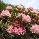 徳島県石井町にある童学寺の石の庭園で見た石楠花です。色鮮やかでした。  ・石楠花のほかに色なき石の庭(和良)