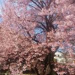 徳島市の原田家住宅では日本舞踊やお抹茶のおもてなしもありました。  ・桜見て日本舞踊もお抹茶も(和良)