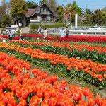 北島町のチューリップ園ではたくさんの種類が咲いています。 ・片仮名の名札ばかりやチューリップ(和良)