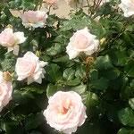 藍住町の薔薇園でヨハンシュトラウスという薔薇を見ました。      ・ヨハンシュトラウスなる薔薇さ揺れをり(和良)