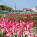 北島町ではまだ少しチューリップが咲いていました。             ・太陽へ伸びゆく背丈チューリップ(和良)