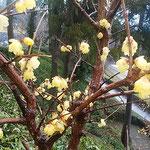 臘梅に雨が降り注ぐと臘梅の花びらが透き通って見えました。         ・雨滴置く臘梅ことに透き通る(和良)