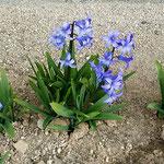 旧家の外庭のヒヤシンスは早くも小花を一杯つけていました。      ・小さくともはや小花つけヒヤシンス(和良)