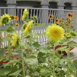 大塚国際美術館でモネ、ゴッホ、ゴーギャンの向日葵を見ました。 ・向日葵やモネもゴッホもゴーギャンも(和良)