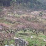 今年は梅が遅く、阿南市の梅林でもほんのりと紅に染まって見えるほどでした。 ・遠目にてあればけぶりて梅の紅(和良)