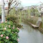 水郷佐原の忠孝橋からの風景です。近くに伊能忠敬の旧宅がありました。  ・芙蓉咲く水の佐原は蔵の町(和良)