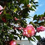 吉野川市の藤井寺の本堂の近くで見た寒椿は輝いて見えました。 ・日の差してまぶしきほどや寒椿(和良)