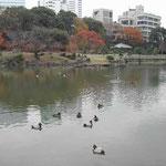 芝離宮では渡り鳥の金黒羽白が鴨とともに羽根を休めていました。 ・離宮にも金黒羽白来てをりぬ (和良)