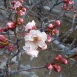 板野町の地蔵時では参道に梅が咲き始めていました。                     ・紅梅の一つ咲きまた一つ咲き(和良)