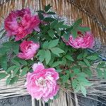 東京上野の東照宮の庭園で寒牡丹を見てきました。           ・気負はずに咲きていじらし寒牡丹(和良)