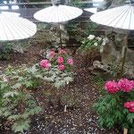 鎌倉の鶴岡八幡宮の牡丹園で見た牡丹です。               ・ぼうたんの一株毎の和傘かな(和良)