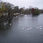ウインザー城の前を流れるテムズ川には白鳥が来ていました。静かでした。  ・テムズ川にも白鳥の渡り来し(和良)