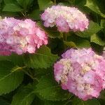 藍住町の農家の紫陽花は雨を待ちわびているようでした。 ・紫陽花の一雨毎の彩りよ(和良)