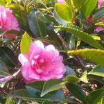 地蔵寺の五百羅漢堂の前庭に山茶花が花をつけていました。  ・山茶花のもう日当たりに咲き初めて(和良)