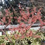 上野東照宮の牡丹園には赤い満作が咲いていました。          ・満作の赤を満作かもと見て(和良)