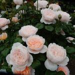 藍住町の薔薇園には320種1100株の薔薇が咲き満ちていました。     ・赤が好き白はなほ好き薔薇の花(和良)