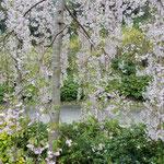 鳴門の「花見山 心の手紙館」で見た垂れ桜です。                     ・咲き満てる若木の花の明るさよ(和良)