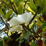泰山木の花は葉の蔭に隠れて下からは数えきれませんでした。  ・仰ぎ読む泰山木の花の数(和良)