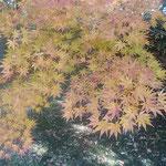 旧芝離宮恩賜庭園の冬紅葉です。遠くからも鮮やかに見えました。    ・芝離宮恩賜庭園冬紅葉(和良)