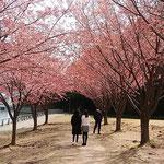 徳島市中央公園の助任川南岸の蜂須賀桜で吟行会がありました。     ・葉も花も赤き蜂須賀桜かな(和良)