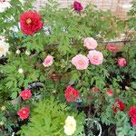 阿波市神宮寺には150種480株の牡丹があり、鉢植えがまだ咲いていました。 ・牡丹には昼の日差の強過ぎる(和良)
