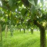 藍住町を散歩しているとよく手入れされた棚に梨が実っていました。 ・よく手入れされたる棚に梨実る(和良)