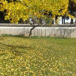 人気のない地蔵寺の奥院には銀杏が散り敷いていました。  ・人気無き奥院銀杏散り敷ける(和良)