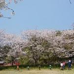 道の駅・南国風良里の丘でお花見をしている一家に会いました。     ・日曜の家族総出の花見かな(和良)