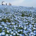 国営ひたち海浜公園のネモフィラは450万本植えられています。     ・春光にネモフィラ青く煌めける(和良)