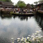 富士の清水が湧く忍野八海です。水辺にマーガレットが咲いていました。 ・薄暗き水辺にマーガレットかな(和良)