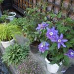 古い町並の続く上三之町では玄関に花を咲かせていました。                             ・玄関に鉄線咲かせ古都に住む(和良)