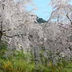 神山町の桜街道は有志の方々が植え続くて来られたものです。 ・有志より始まる桜街道と(和良)