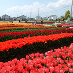 北島町のチューリップ園です。今年も綺麗に咲きました。  ・原色といふ美しさチューリップ(和良)