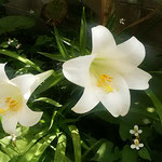 狭い我が家の庭ですが白百合が咲くと華やかになりました。       ・百合咲いて狭庭にはかに華やげる(和良)