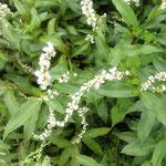 藍住町の散歩道で見た蓼の花です。草むらの中の白が綺麗でした。 ・道の辺に白美しき蓼の花(和良)