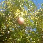 徳島市中央公園の薔薇園の棚に郁子が実をつけていました。       ・天智天皇食べたる郁子を我も食べ(和良)
