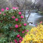 創価大学の文学の池です。周桜も直ぐ近くにありました。           ・石楠花と連翹競い咲ける池(和良)