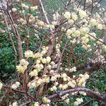徳島市の文化の森で見た臘梅です。満開でした。              ・うつむきて咲く臘梅に雨やさし(和良)