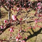 旧徳島城表御殿は日当たりがよく紅梅が咲き始めていました。        ・庭園の丸太の椅子の温かく(和良)