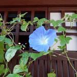 近江八幡市の新町通りは近江商人を生んだ町として知られています。     ・朝顔や近江商人生みし町(和良)