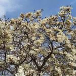 白木蓮は青空に向かって清々しく咲き満ちていました。  ・青空に白木蓮の清々し(和良)