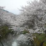 徳島県勝浦町では生名谷川の両岸に植えられた桜が満開でした。             ・川幅を埋め尽くして桜咲く(和良)