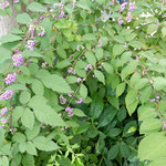 紫式部が咲く庭園では耳を澄ますと虫の声が聞こえてきました。  ・屋上に庭園のあり虫すだく(和良)