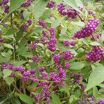 藤井寺の門前で見た紫式部の実は大きく艶やかでした。         ・仕上がりし色の光沢式部の実(和良)