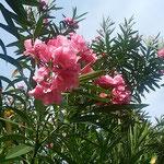 夾竹桃は広島原爆の焦土に一番早く咲いた花と聞いたことがあります。  ・原爆の焦土に夾竹桃の花(和良)